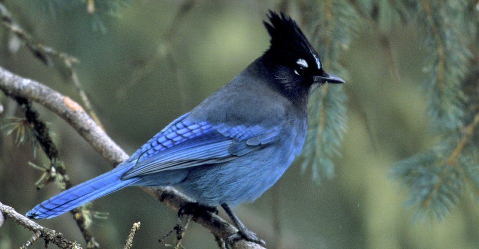 Stellar's Jay, Yellowstone National Park, Wyoming, USA