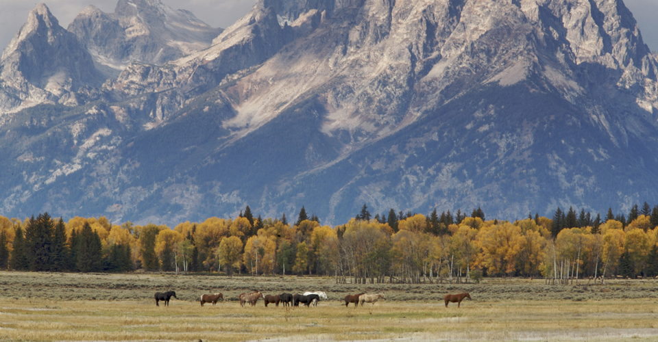 Horses, Grand Teton National Park, Wyoming, USA