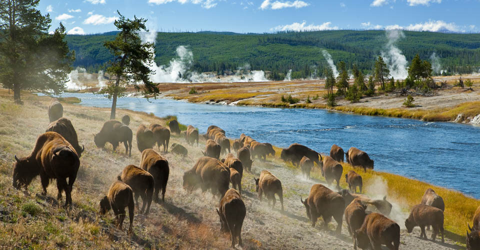 American bison, Yellowstone National Park, Wyoming, USA