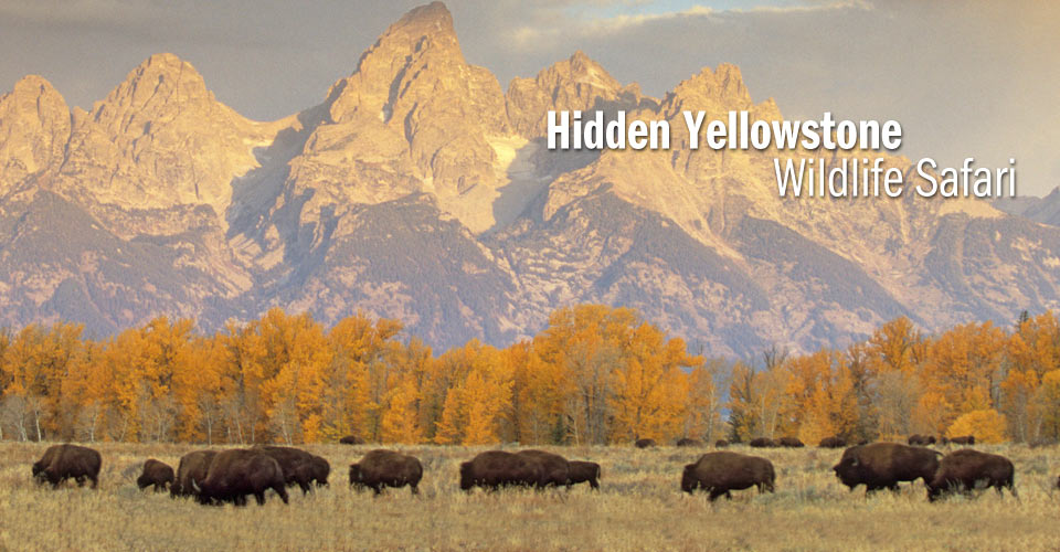 Bison under the Tetons, Grand Teton National Park, Wyoming, USA