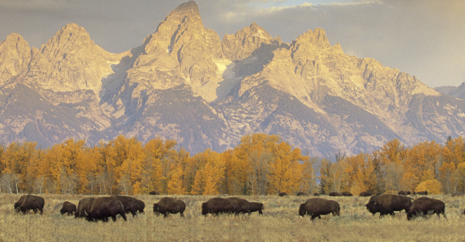 American bison & Teton Range, Grand Teton National Park, Wyoming, USA