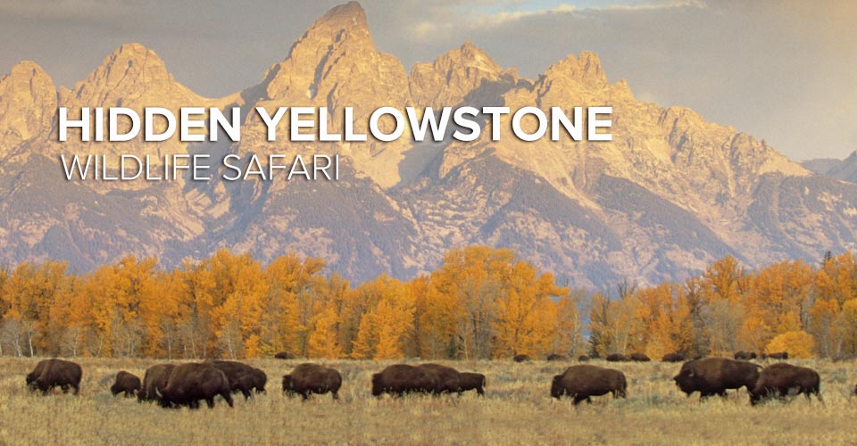 Bison, Grand Teton National Park, Wyoming, USA