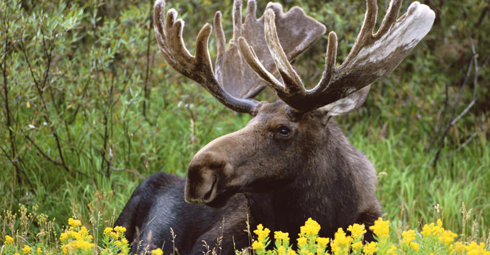 Moose, Grand Teton National Park, Wyoming, USA