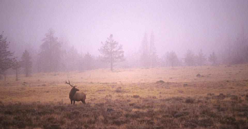 Elk, Grand Teton National Park, Wyoming, USA