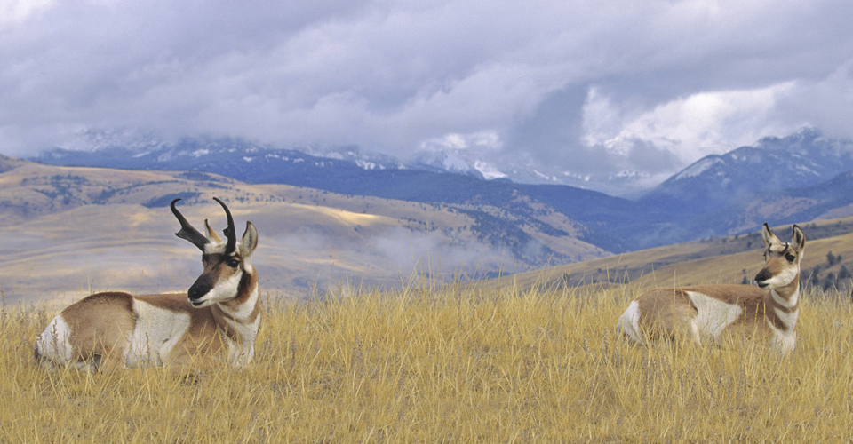 Pronghorn, Yellowstone National Park, Wyoming, USA