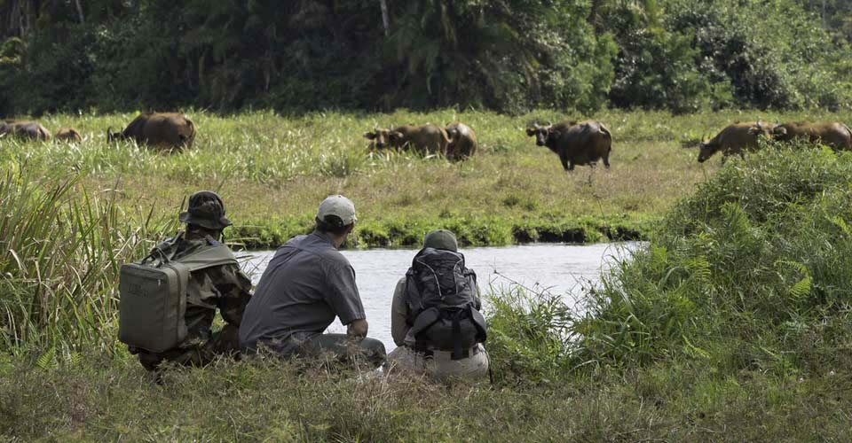 Viewing forest buffalo, Odzala-Kokoua National Park, Congo
