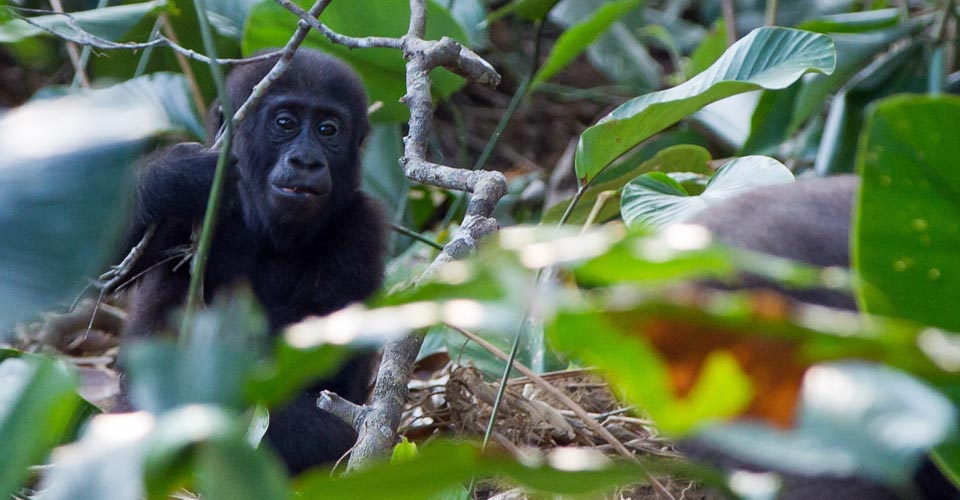 Western lowland gorilla, Ndzehi Forest, Congo