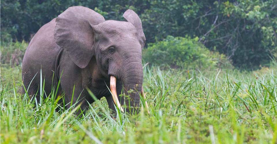 Forest elephant, Odzala-Kokoua National Park, Congo
