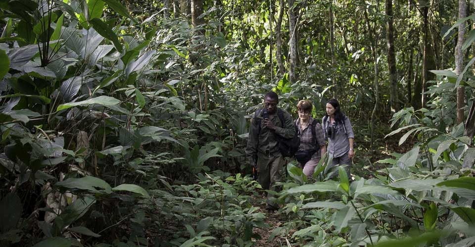 Gorilla trekking, Ndzehi Forest, Congo