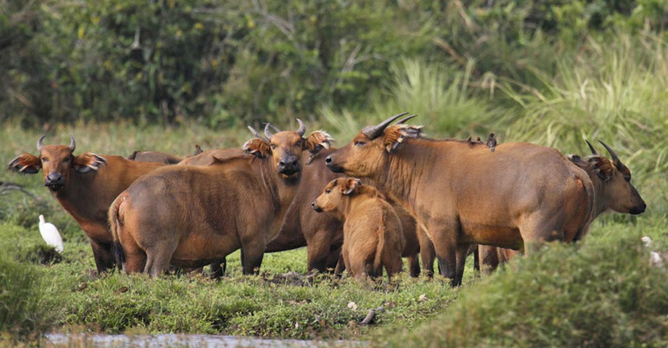 Forest buffalo, Odzala-Kokoua National Park, Congo