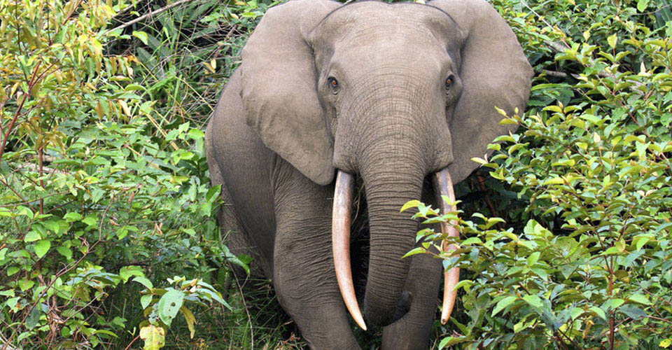 Forest elephant, Odzala-Kokoua National Park, Republic of the Congo