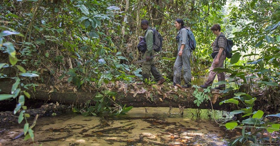 Gorilla tracking, Ndzehi Forest, Congo