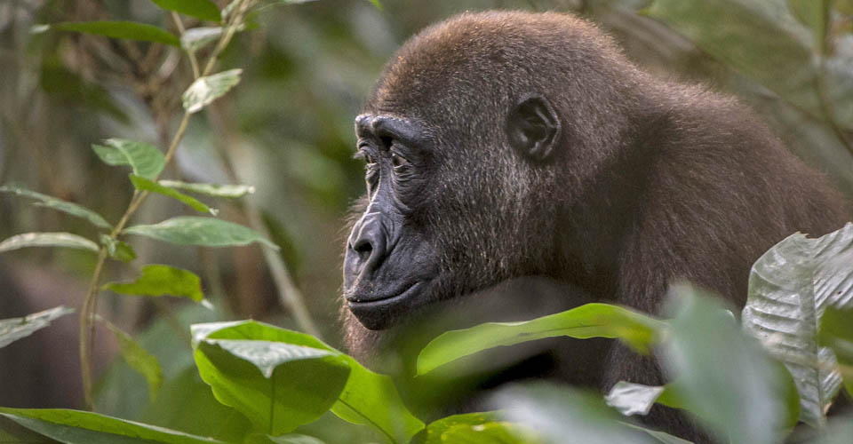 Western lowland gorilla, Ndzehi Forest, Republic of the Congo