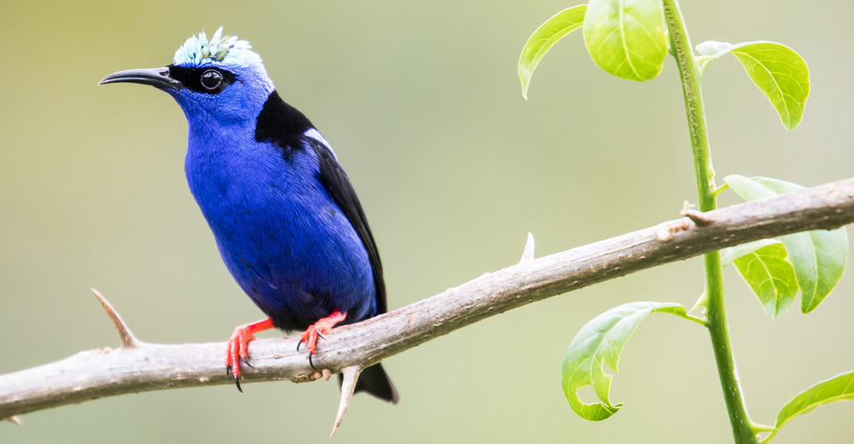 Red-legged honeycreeper, Costa Rica