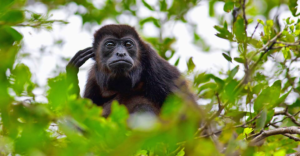 Howler monkey, Manuel Antonio National Park, Costa Rica