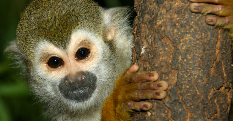 Squirrel monkey, Tiskita Private Biological Reserve, Costa Rica