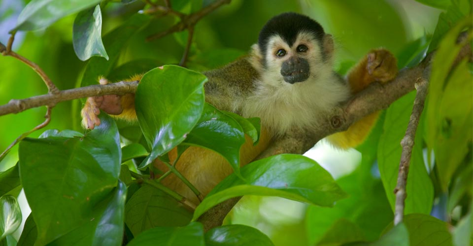 Squirrel monkey, Tiskita, Costa Rica