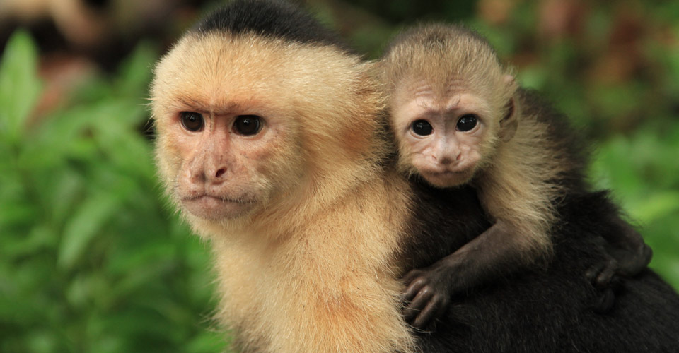 White-faced capuchin, Sierpe Terraba Wetlands, Costa Rica