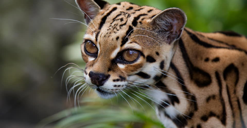 Margay, Arenal Volcano National Park, Costa Rica