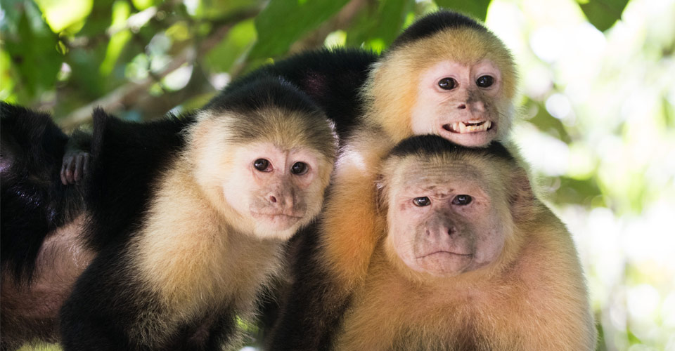 White-faced capuchins, Corcovado National Park, Costa Rica