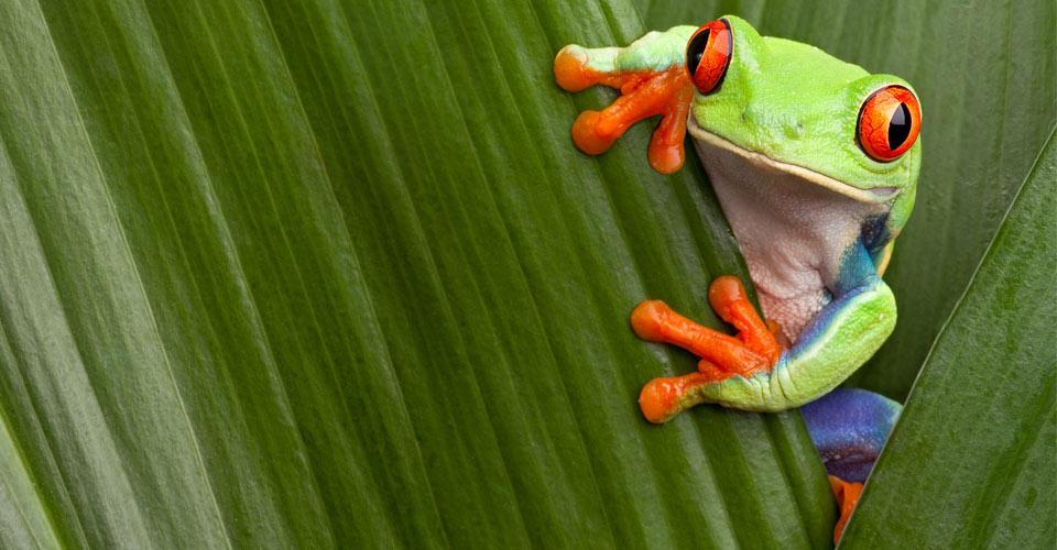 Tree frog, Tortuguero, Costa Rica