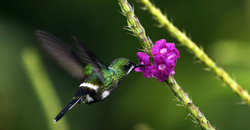 Green thorntail, Sarapiqui, Costa Rica