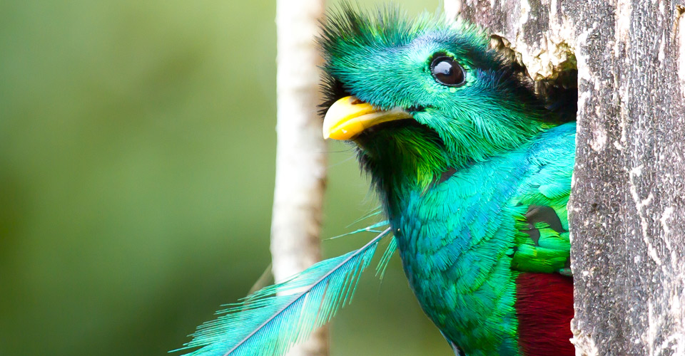 Resplendent quetzal, Cerro de la Muerte, Costa Rica