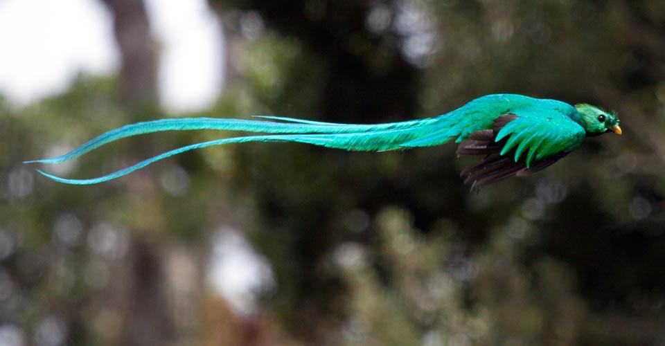 Resplendent quetzal, Los Quetzales National Park, Costa Rica