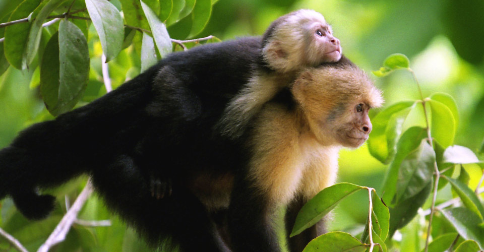 White-faced capuchin, Sarapiqui, Costa Rica