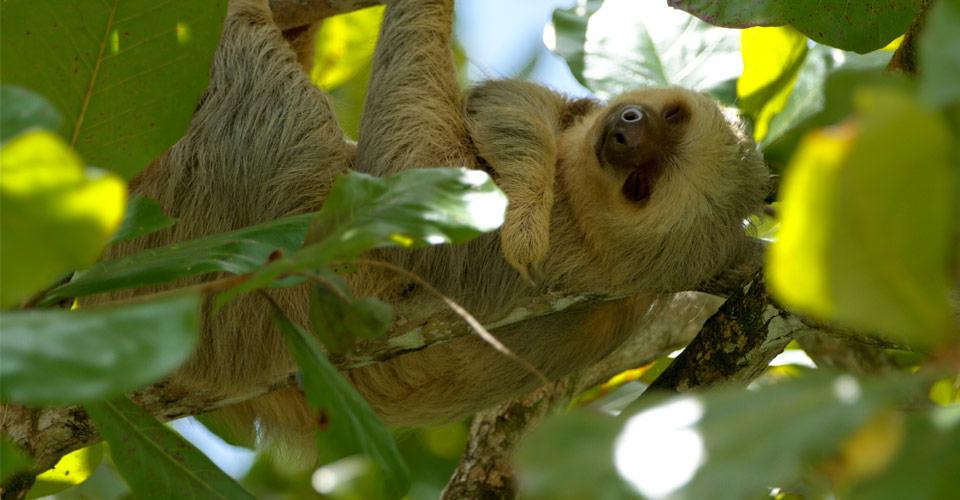 Two-toed sloth, Morgan's Rock, Nicaragua