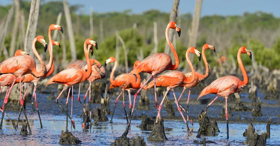 Great flamingoes, Ciénaga de Zapata National Park, Cuba