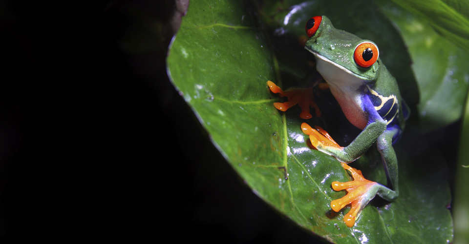 Red eyed tree frog, Arenal National Park, Costa Rica