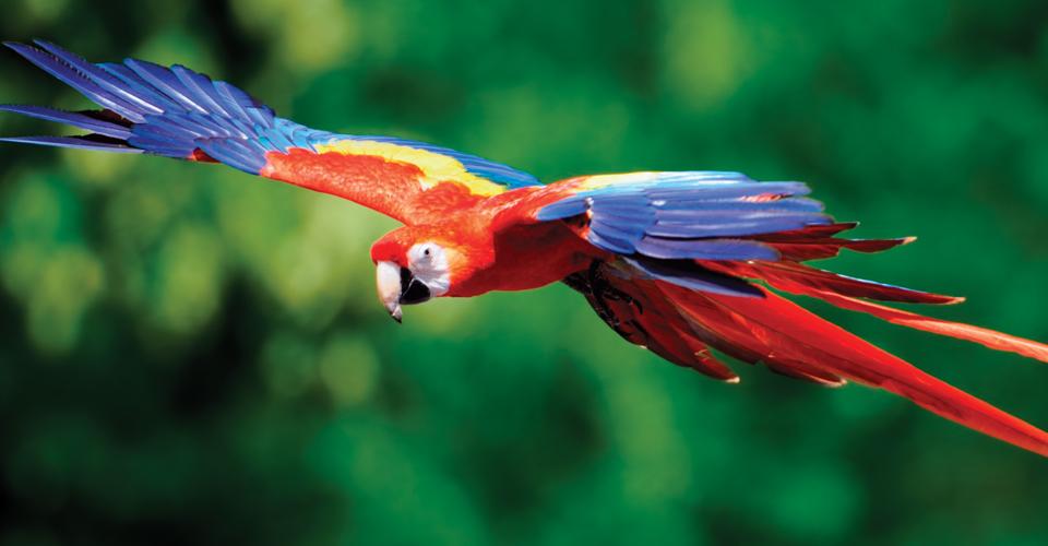 Scarlet macaw, Carara National Park, Costa Rica