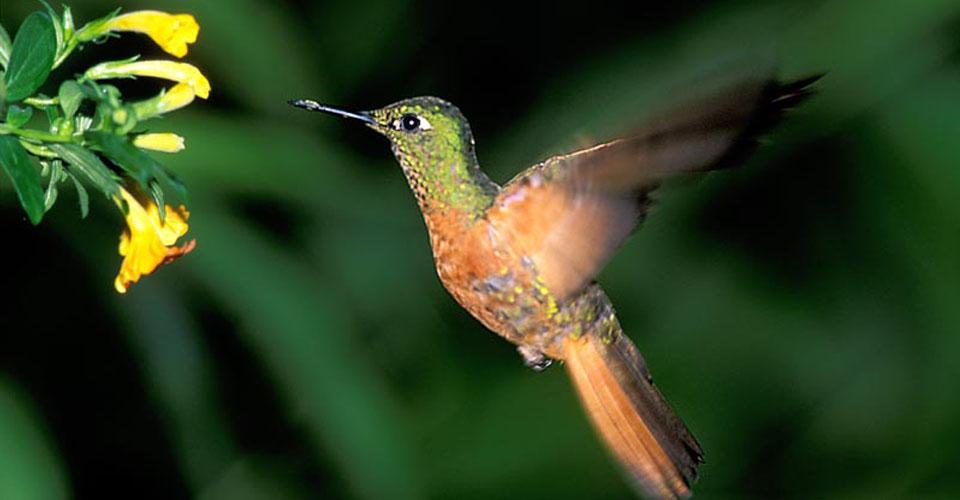 Hummingbird, Inkaterra Machu Picchu Pueblo Hotel, Peru