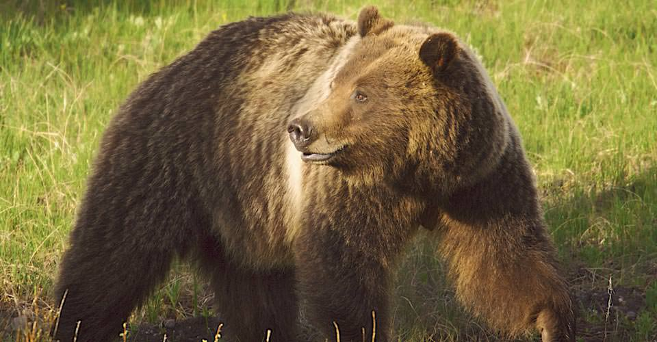 Grizzly bear, Yellowstone National Park, Wyoming, USA