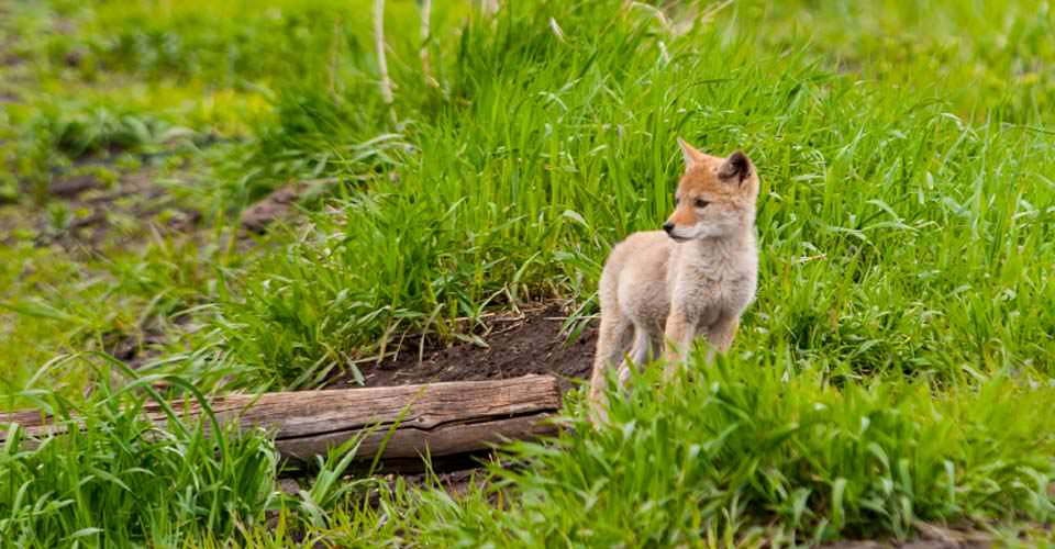 Coyote pup, Yellowstone National Park, Wyoming, USA