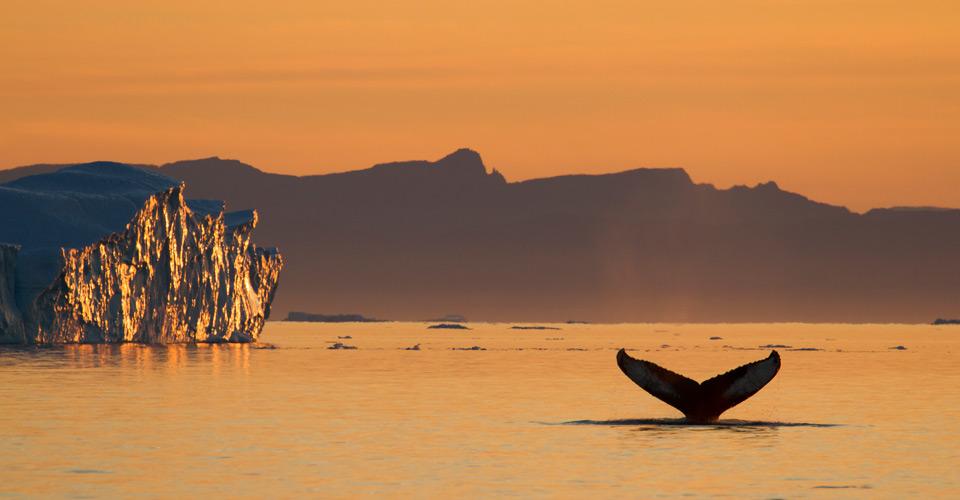 Humpback whale, Tasiilaq, Greenland