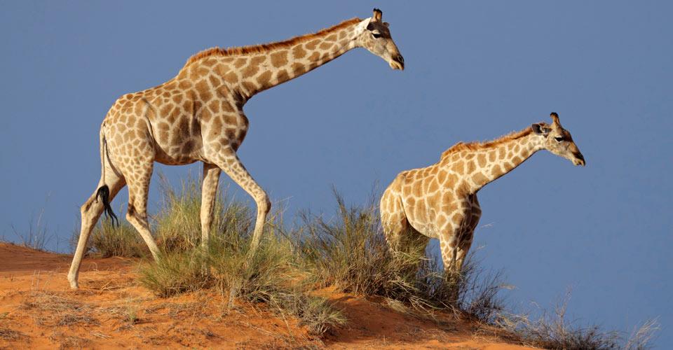 Angolan giraffe, Namibia