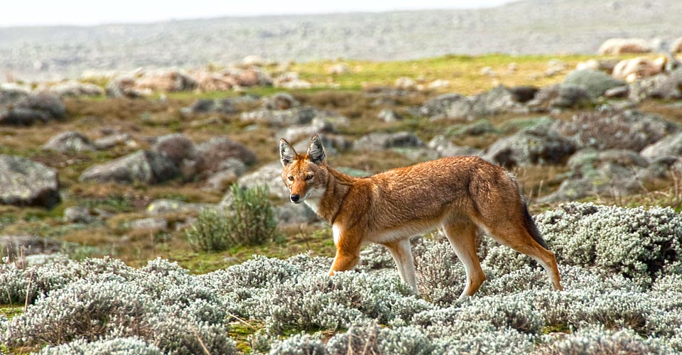 Ethiopian wolf, Bale Mountains National Park, Ethiopia