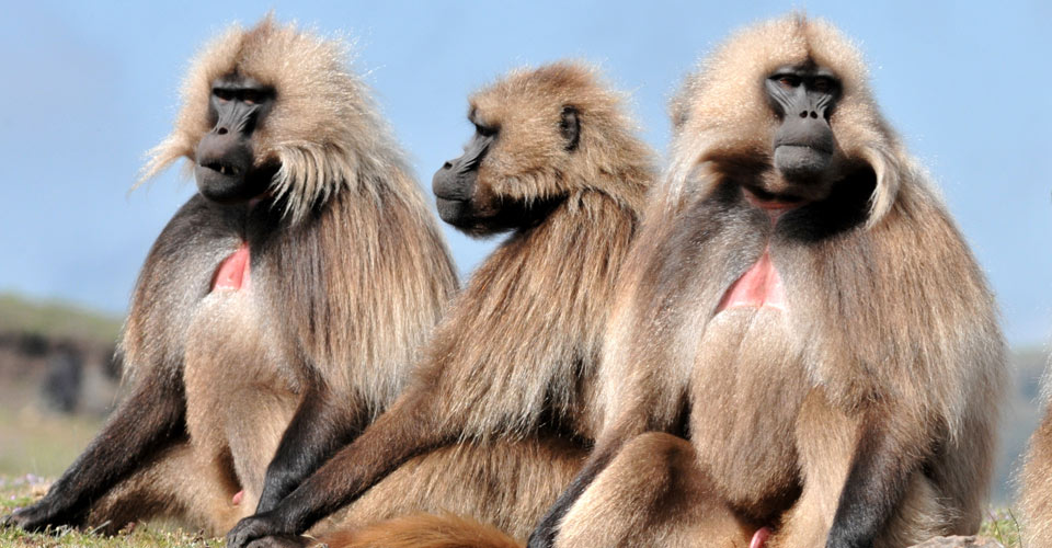 Gelada monkeys, Simien Mountains, Ethiopia