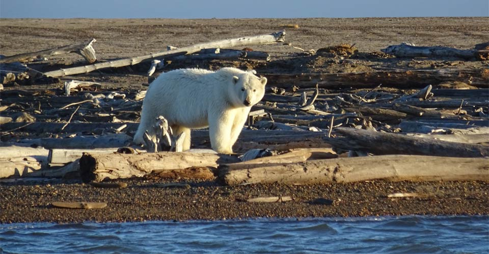 Polar Bear, Kaktovik, Alaska