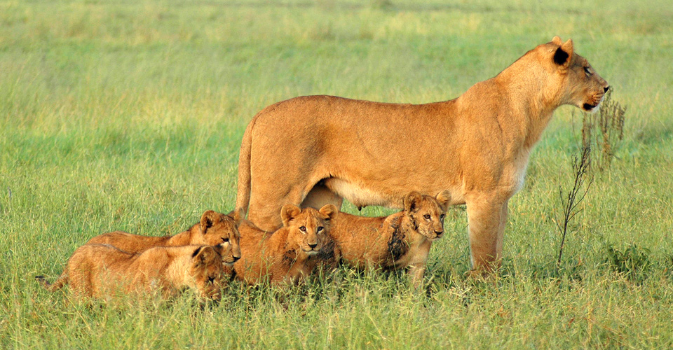 Lioness and cubs, Kalahari, Botswana