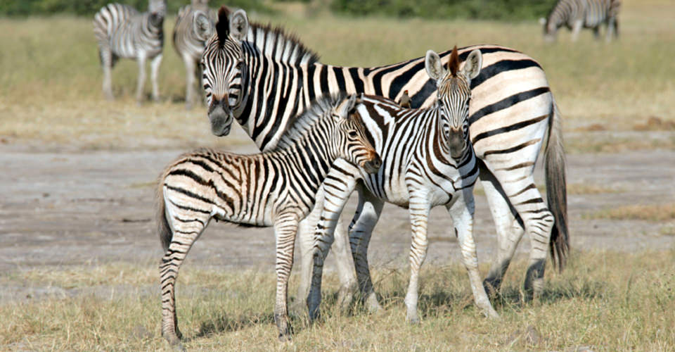 Burchell's zebra, Linyanti Private Reserve, Botswana