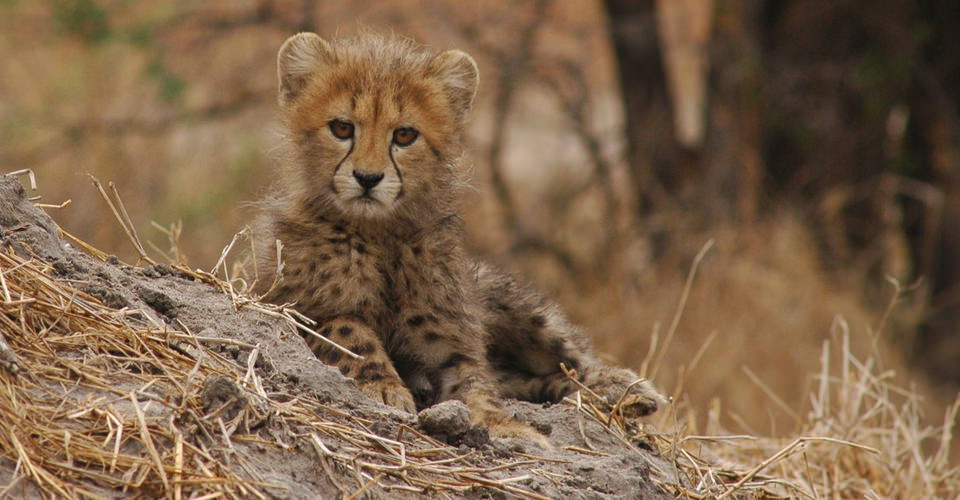 Southern Africa cheetah, Okavango Delta, Botswana