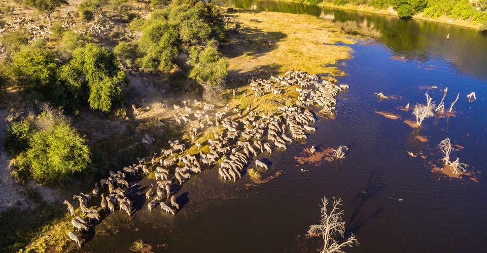 Zebra Migration, Boteti River, Botswana