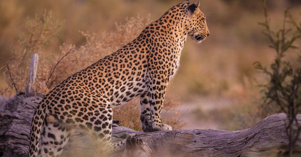 African leopard, Gomoti Private Reserve, Botswana