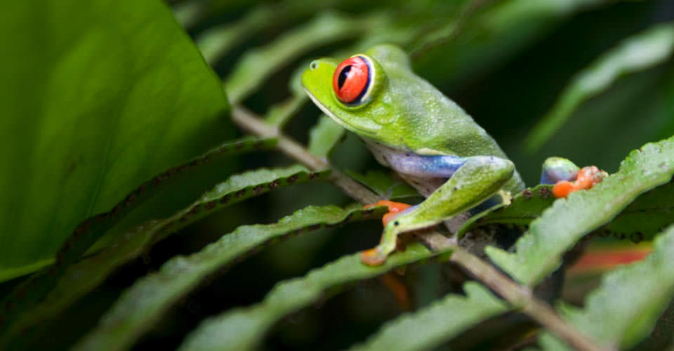 Red eyed tree frog, Arenal Volcano National Park, Costa Rica