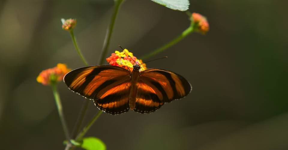 Orange Barred Tiger butterfly, Sarapiquí, Costa Rica
