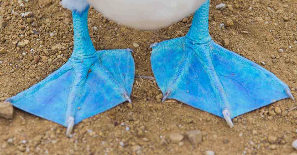 Blue-footed booby, San Cristobal, Galapagos Islands, Ecuador