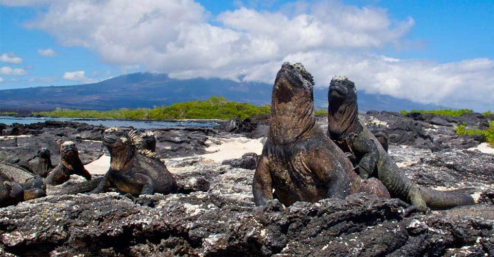 Marine iguanas, Fernandina, Galapagos Islands, Ecuador